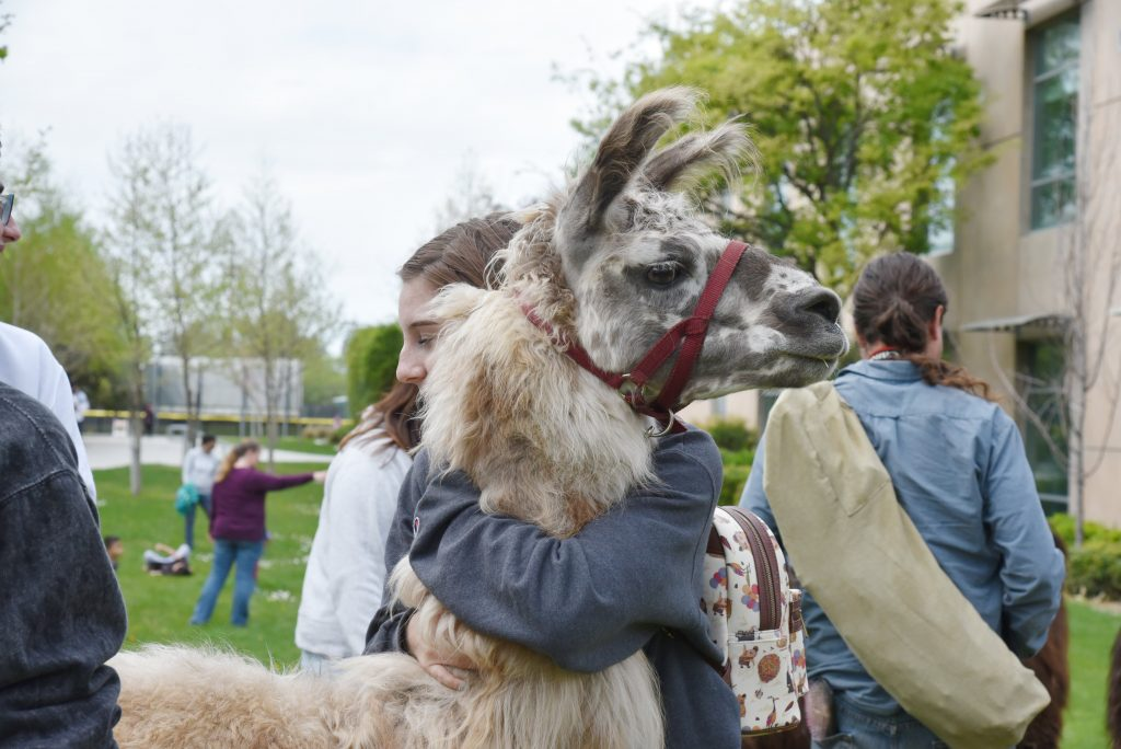 Llamas at Mission College
