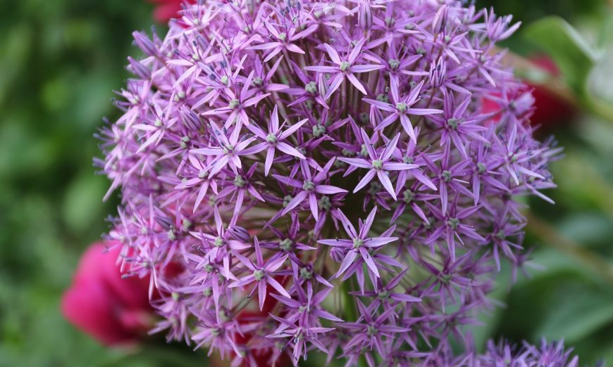 Plant Alliums bulbs in fall and enjoy months of colorful spring and summer blooms — this year, and for years to come, says Melinda Myers.