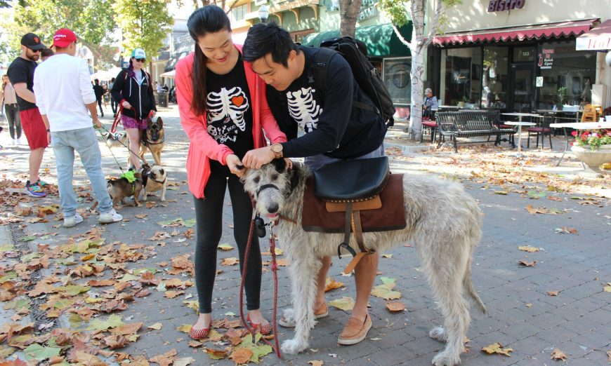 The Sunnyvale Pet Parade made a comeback this year. An Irish wolfhound named Mochi came dressed as a pony for the parade.